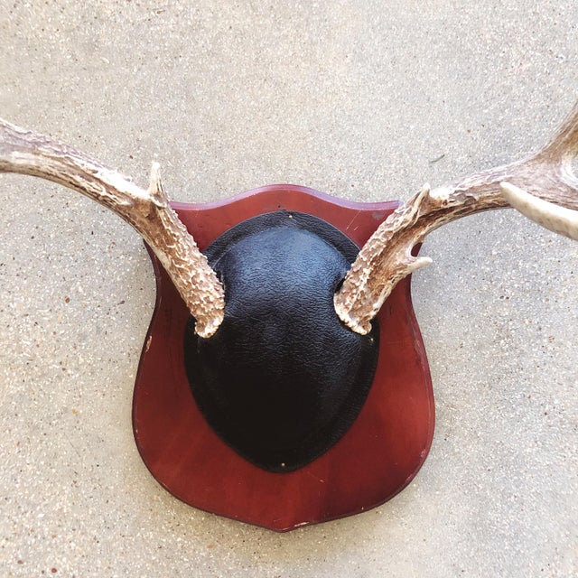 Traditional vintage Texan mounted deer antlers. White-tailed deer antlers mounted on a burgundy painted wooden plaque with...