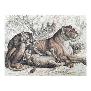 19th Century Jardine Lion Female & Cubs Engraving