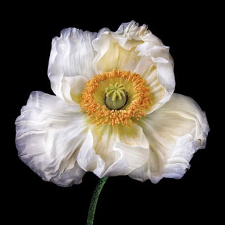 "Photographic Botanical Print, ""Papaver "" by Artist Debi Shapiro For Sale"