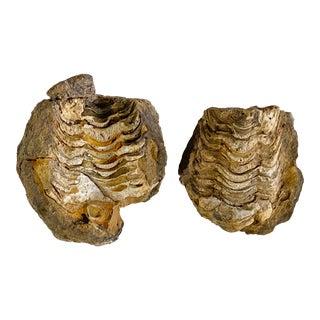 Trilobite Fossil Morocco For Sale
