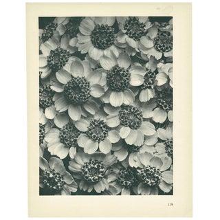 1928 Karl Blossfeldt Original Period Photogravure N119 of Achillea Clypeolata For Sale