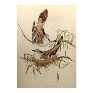 1840s Gould's Crested Pigeon Lithograph