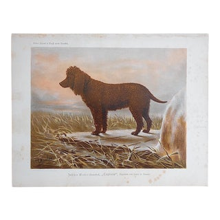 """Antique Dog Lithograph """"Irish Water Spaniel"""" For Sale"""