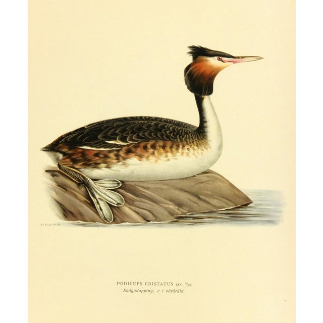 Vintage 1929 Bird Print - Great Crested Grebe - Image 1 of 3