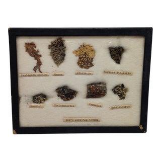 Vintage North American Lichen Specimen Collection For Sale