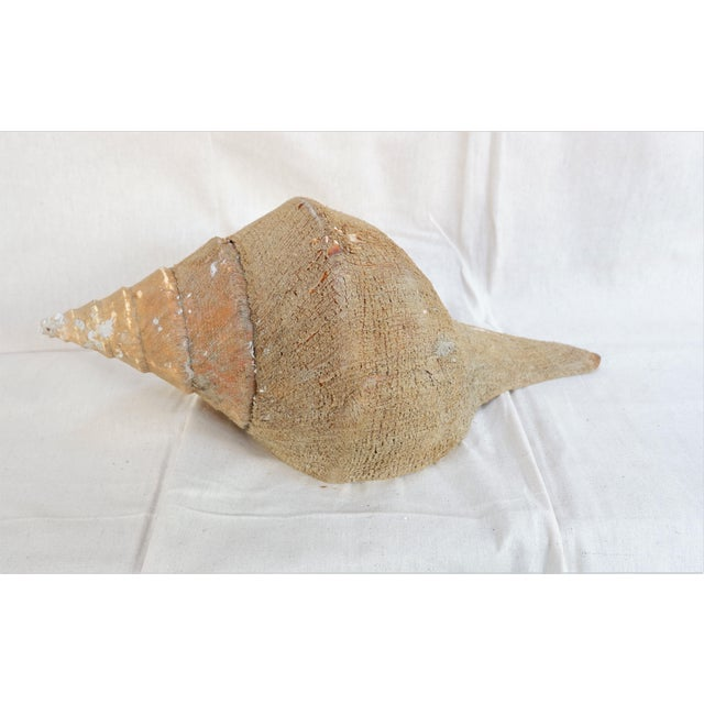 Large Syrinx Aruanus Sea Shell With Natural Husk For Sale In San Francisco - Image 6 of 6