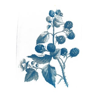 Wild Berries Botanical Drawing Cyanotype Print