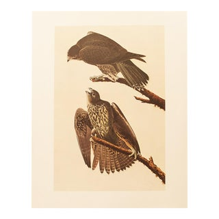 1960s Cottage Lithograph of Gyrfalcon by Audubon For Sale