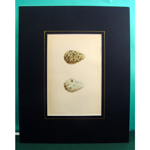Speckled Bird Eggs, Circa 1900 Lithograph - Image 2 of 2