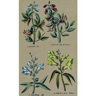 Italian Botanical Etching For Sale