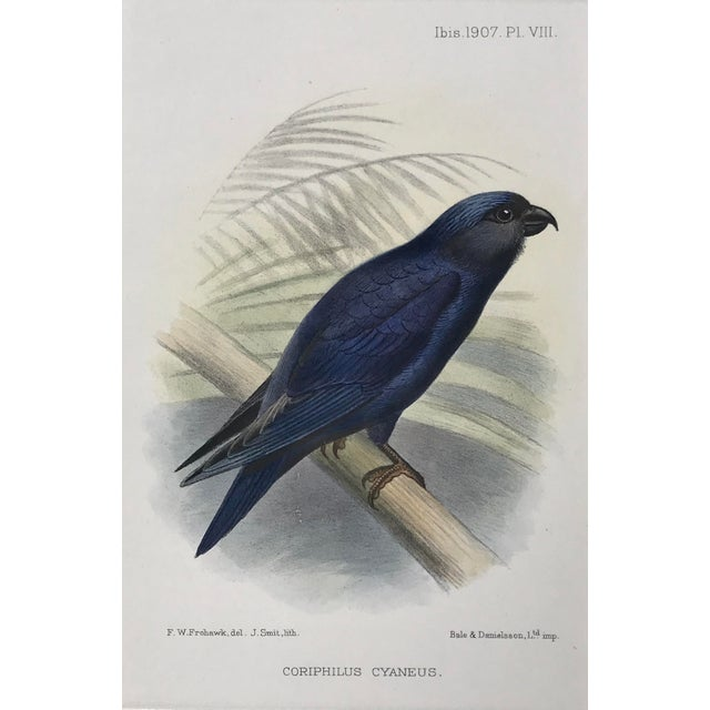 American Antique Color Lithograph of Blue Bird Ibis C.1907 For Sale - Image 3 of 6