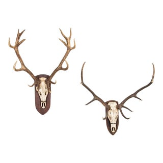 Pair of Mounted Large Stag Antlers For Sale