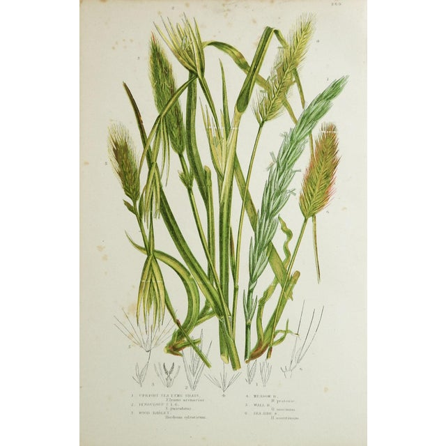 Antique Botanical Grasses Lithographs - A Pair For Sale - Image 4 of 4