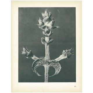 1928 Abyssinian Sage by Karl Blossfeldt, Original Period Photogravure N65 For Sale