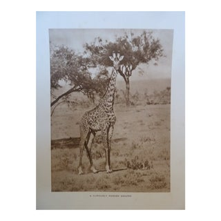 1920s Vintage African Safari Giraffe Rotogravure Photographic Print For Sale