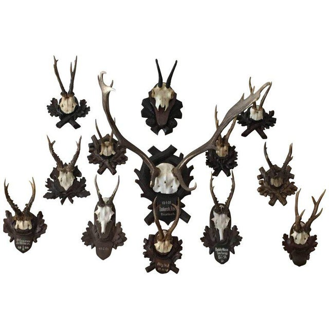 Black Forest Collection of Black Forest Mounts Including One Stag, Ten Roe and One Chinois For Sale - Image 3 of 3