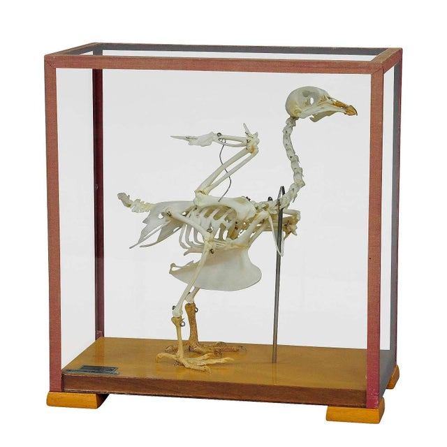 Wood Vintage Pigeon Skeleton Model For Class Circa 1950 For Sale - Image 7 of 7