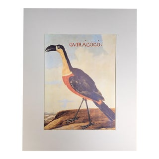 "1Albert Eckhout's Ariel Toucan - 1970s Print of 1644 Painting From ""Birds of Brazil"""