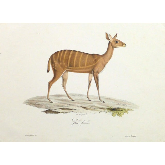 19th-Century Bushbuck Deer PrintEngraving - Image 1 of 4