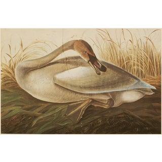 1966 Trumpeter Swan by Audubon, XL Vintage Cottage Print For Sale