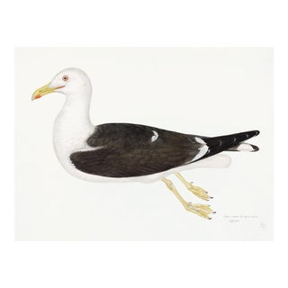 Lesser Black Backed Gull Plate 23 by Olof Rudbeck (Cfa-Wd) For Sale
