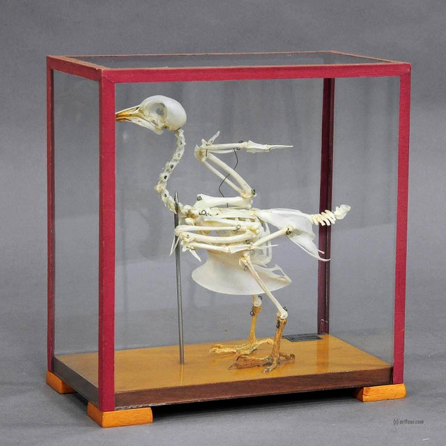an anatomical pigeon skeleton in a showcase used for class. mounted on a wooden plate, Made in Poland ca. 1950, very good...