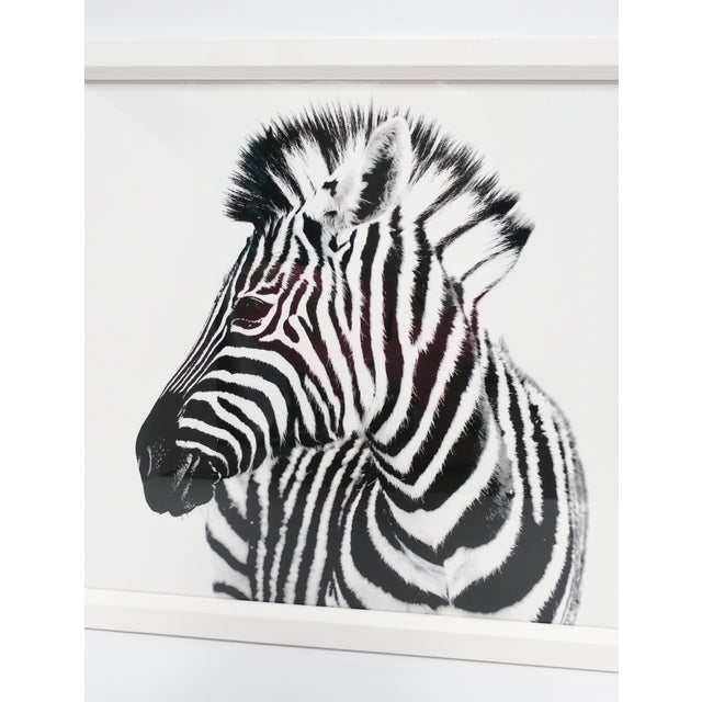 Art Deco English Black and White Zebra Animal Photo Print With White Frame For Sale - Image 3 of 9