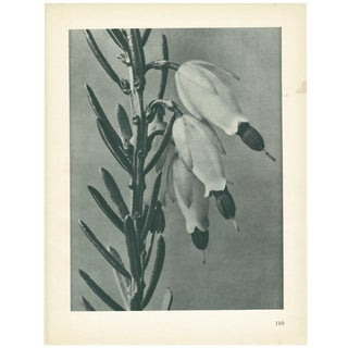 1928 Erica Herbecea, Original Period Photogravure N110 by Karl Blossfeldt For Sale