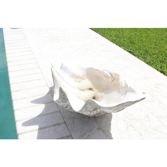 Complete Large-Scale Tridacna Gigas Clam Shell, Southern Pacific Ocean Reefs - a pair For Sale In West Palm - Image 6 of 10