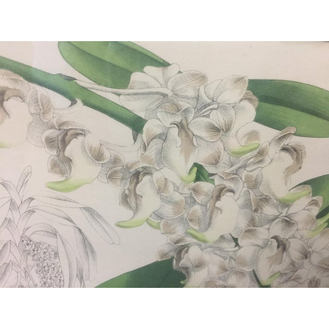 Botanical Print of Christmas Orchids For Sale - Image 5 of 7