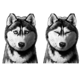 Siberian Husky Print For Sale