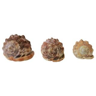 Seashells Sea Shells For Sale