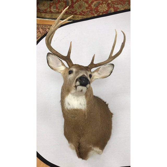 Rustic Eight-Point Deer Head Taxidermy Mount For Sale - Image 3 of 4