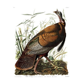 Audubon Wild Turkey Fine Art Print For Sale