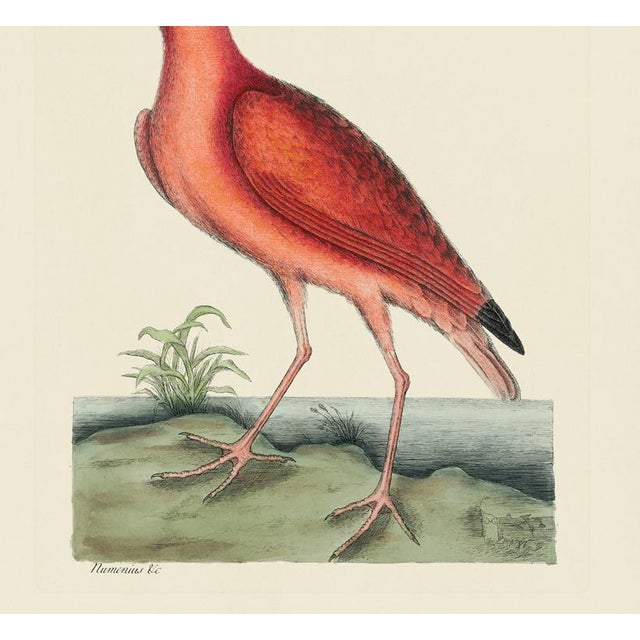 American Mark Catesby Print of Red Curlew, Plate 84 For Sale - Image 3 of 4