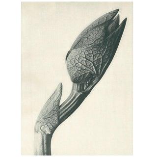 1928 Original Karl Blossfeldt Photogravure N58 of Aristolochia Clematitis For Sale