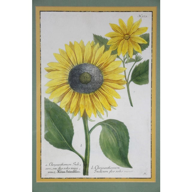 """Sunflowers"" Hand Colored Botanical Engravings - Set of 4 For Sale - Image 4 of 6"