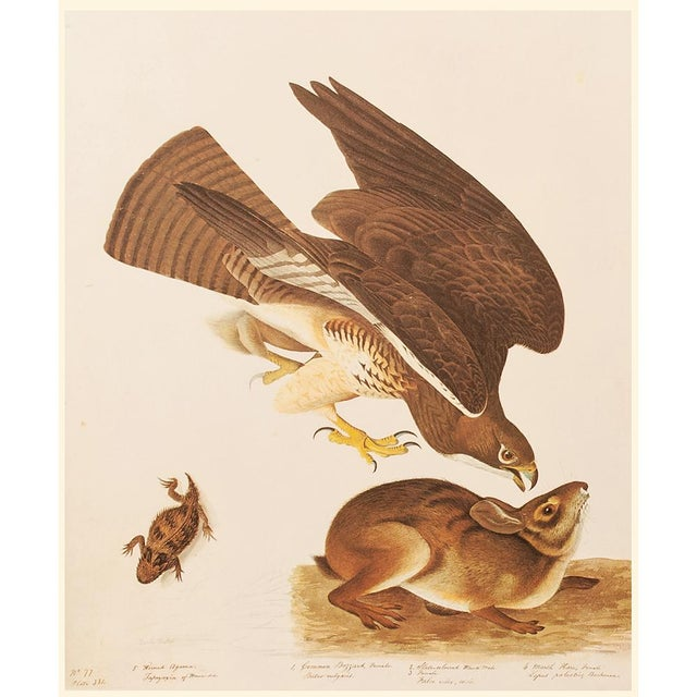Brown Swaison's Hawk, Marsh Hare and Horned Agarma by Audubon, Vintage Cottage Print For Sale - Image 8 of 9