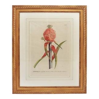 18th Century George Dionysius Ehret Botanical Print For Sale