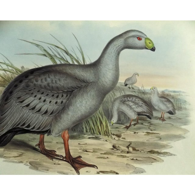 Slate Gray 1840s Cape Barren Goose John Gould Print For Sale - Image 8 of 11