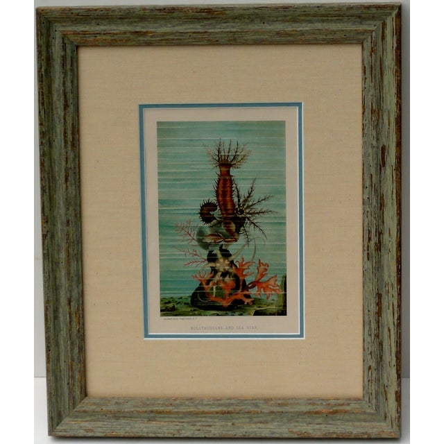Holothurians & Sea Star Lithograph, Circa 1885 For Sale - Image 6 of 6