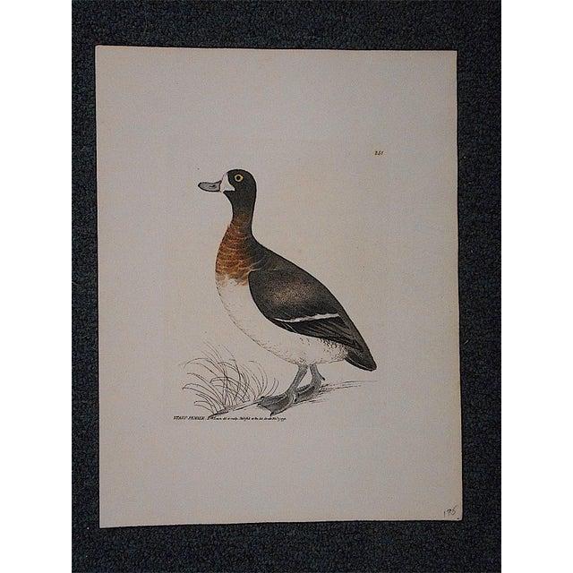 Antique 18th Century Bird Engraving - Image 3 of 3
