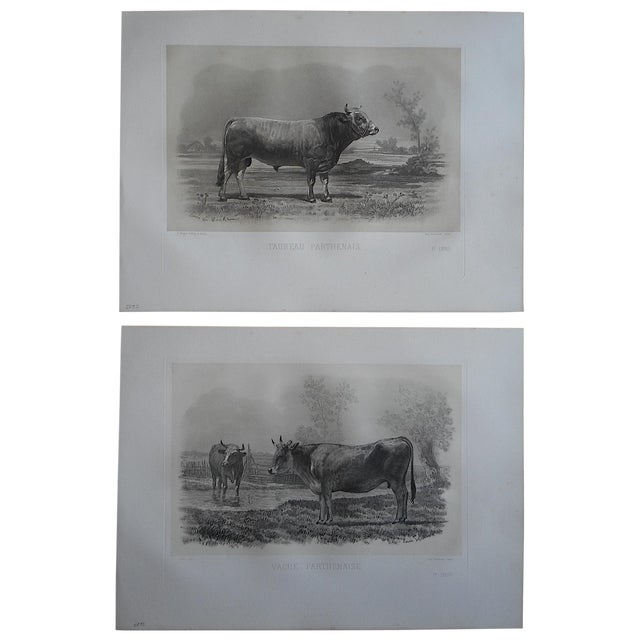 Antique Cow & Bull Engravings - Pair - Image 1 of 3