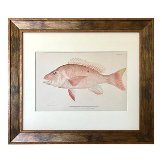 Antique Red Snapper Color Lithograph Fish Print C.1900 For Sale