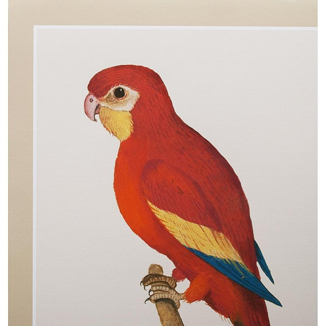 A beautiful reproduction print after watercolor of Red Parrot by Anselmus Boëtius de Boodt (1550 - 1632), Flemish...