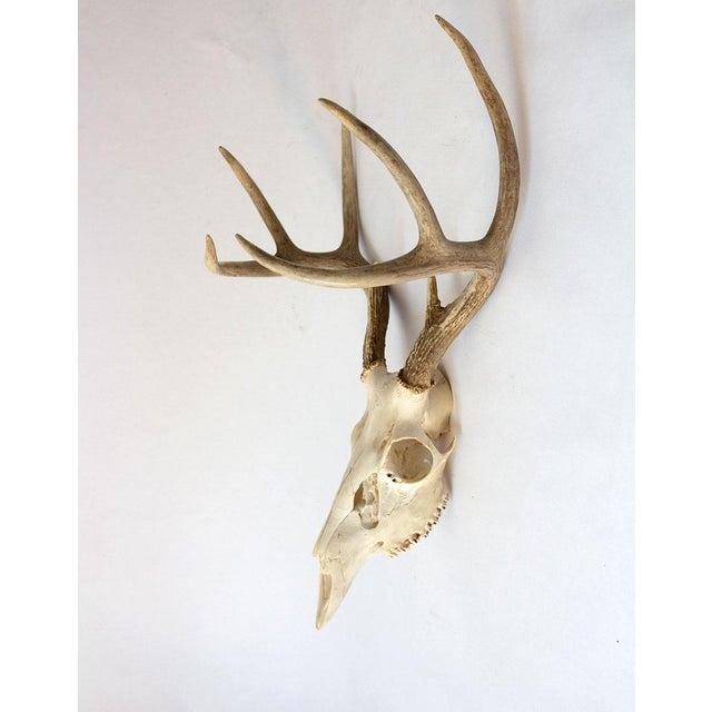 8-Point Whitetail Deer Skull For Sale - Image 4 of 10