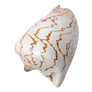 Natural Display Shell For Sale