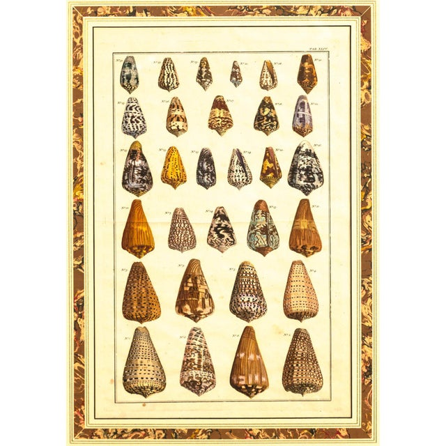 Mid 19th Century Pair of Framed Hand-Colored Lithographs of Shell Species, 19th Century For Sale - Image 5 of 11