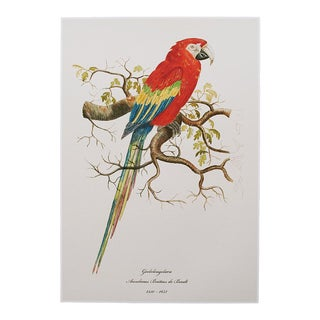 1590s Scarlet Macaw , XL Print by Anselmus De Boodt For Sale
