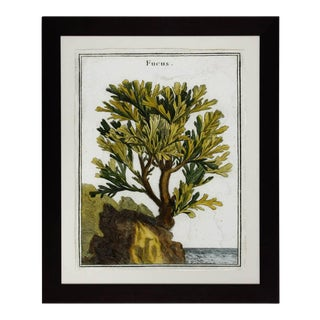 18th Century Botanical Seaweed Print From Natural Curiosities For Sale
